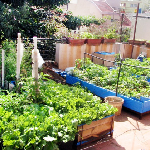 Urban agriculture: Organic vegetable gardens on the terraces of buildings